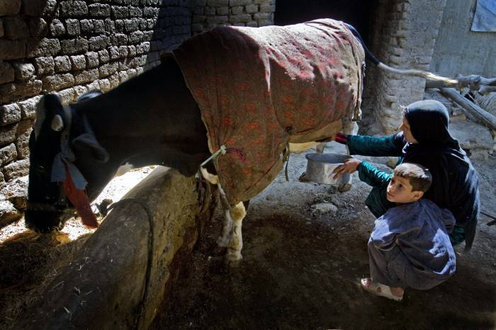 Halima and her son milk their only cow in Sector 7, Kabul. Kate Holt.