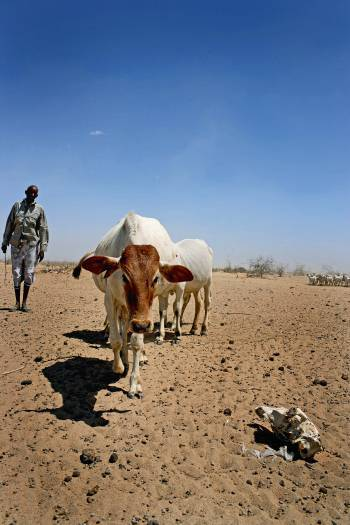 A cattle herder with the remains of his herd, walks towards a drinking hole. Kate Holt.
