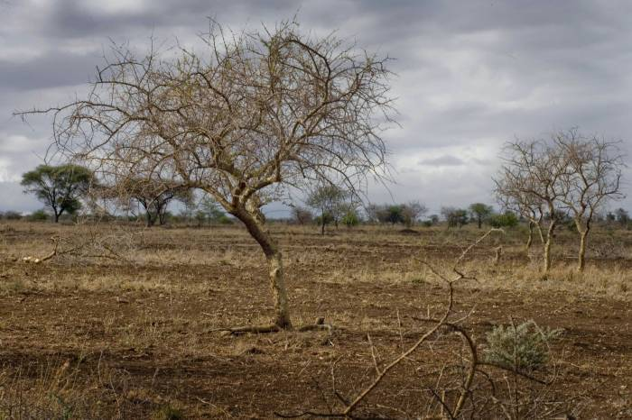 A leafless tree stands out against a dry landscape where it hasn't rained for over eight months. Kate Holt.