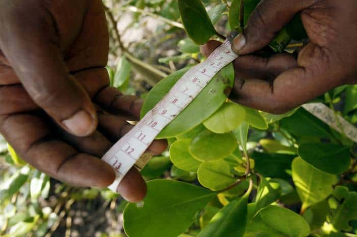 Volunteers from Earthwatch measure the size of the leaves of different types of mangrove plants. Kate Holt.