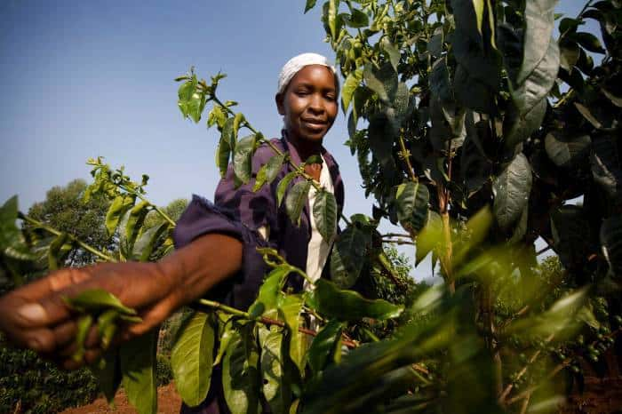 The Gikanda Coffee Growers Association, a collective of 2,700 coffee farmers. Kate Holt.