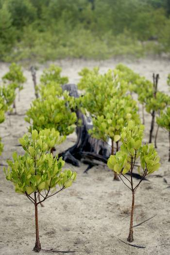 A view of newly planted mangroves at Kindondo, Gazi Bay, Kenya on the 27th July, 2008. Kate Holt.