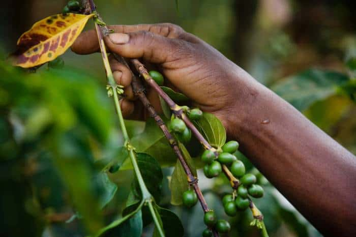 "Coffee in it's raw state is called ""cherry"". Some Gikanda growers can produce up 4,000-5,000kg of coffee cherries a year. Kate Holt."