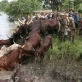 Ambororo tribesmen guide their cattle while crossing river Ayii near village Bari. Kate Holt.