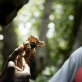 An Earthwatch volunteer examines a hermit crab while listening to a lecture. Kate Holt.