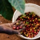 Coffee cherries are picked by farmers before being transported to Gikanda's processing factory. Kate Holt.