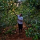 Rose Gathoni, one of the cooperative's 2,700 farmers, tends to her coffee plants. Kate Holt.