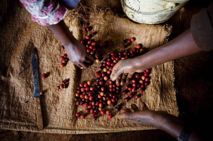 Coffee cherries are sorted by hand by farmers before being transported to Gikanda's processing factory. Kate Holt.
