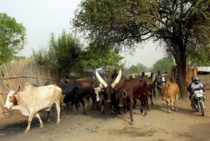A herd of cows are directed through a main road in Juba, Southern Sudan. Kate Holt.