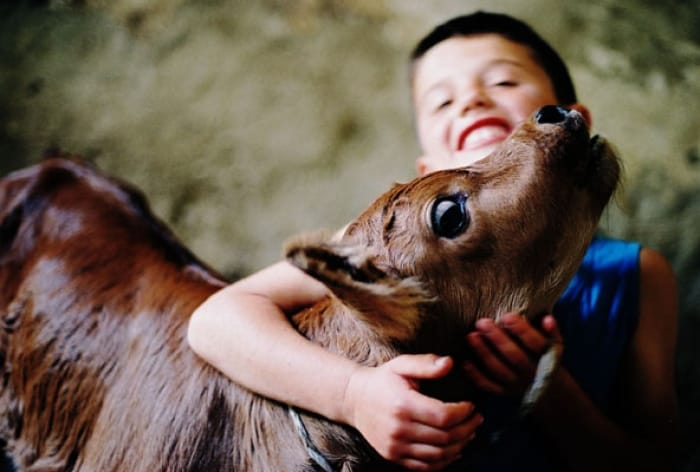 A young boy with his calf in the town of Zhiti, Kosova. His family's home was destroyed. Kate Holt.
