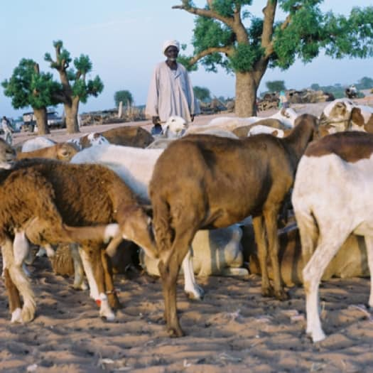 An elderly displaced man in El Geneina, West Darfur, with what remains of his herd of goats. Kate Holt.