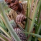 A woman works on the Pineapple Project that was established in 2003 in Iteera Village. Kate Holt.