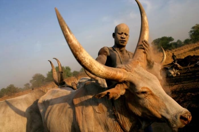 A Mundari Cattle herder rubs one of his cows with ash to protect its skin from the sun. Kate Holt.