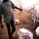 A young mundari boy tends to his calves in a cattle camp outside of Juba, Southern Sudan. Kate Holt.